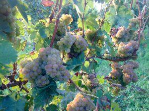weißwein-vom-Gardasee